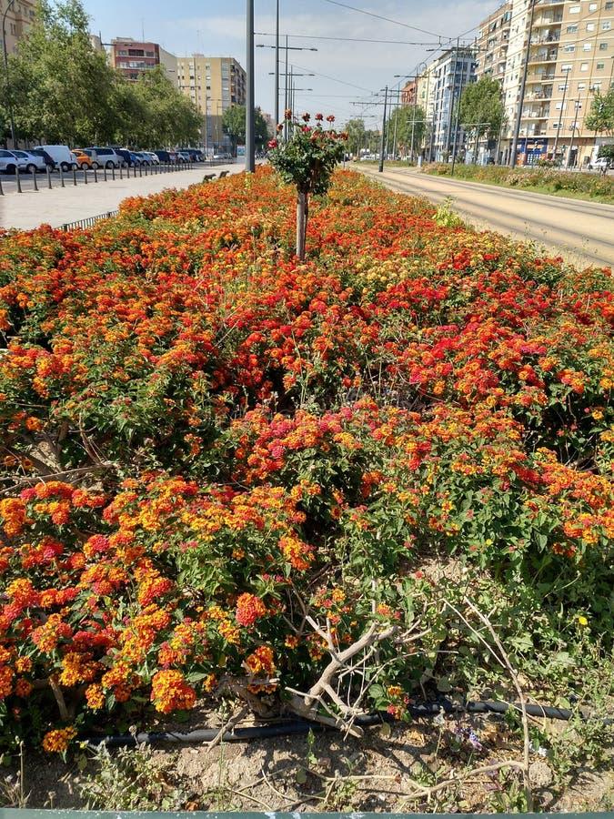 Camara de Lantana dans le printemps 2 du ` s de Valence photo stock