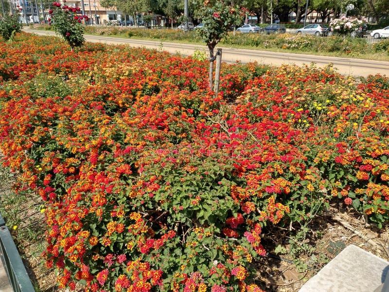 Camara de Lantana dans le printemps du ` s de Valence photographie stock