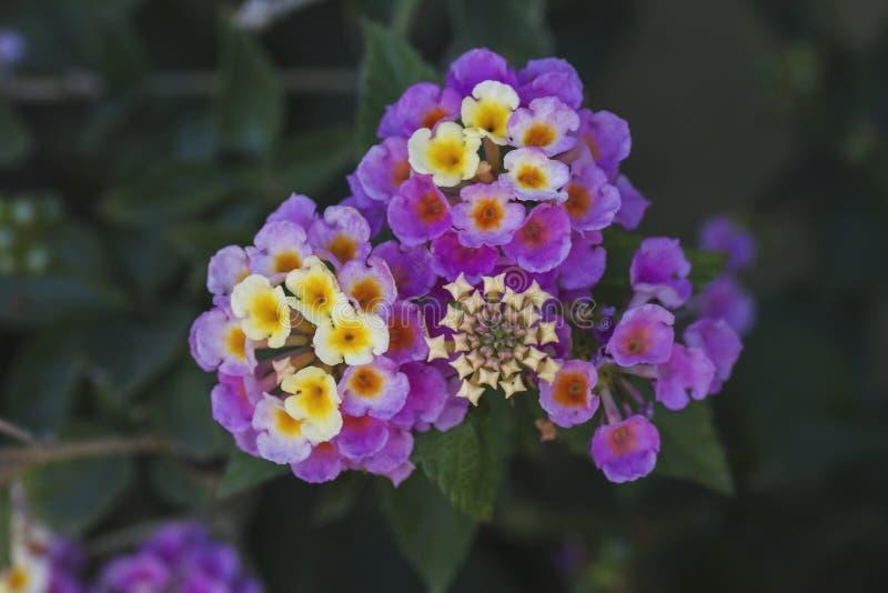 Camara de Lantana ou fleurs thickberry images stock