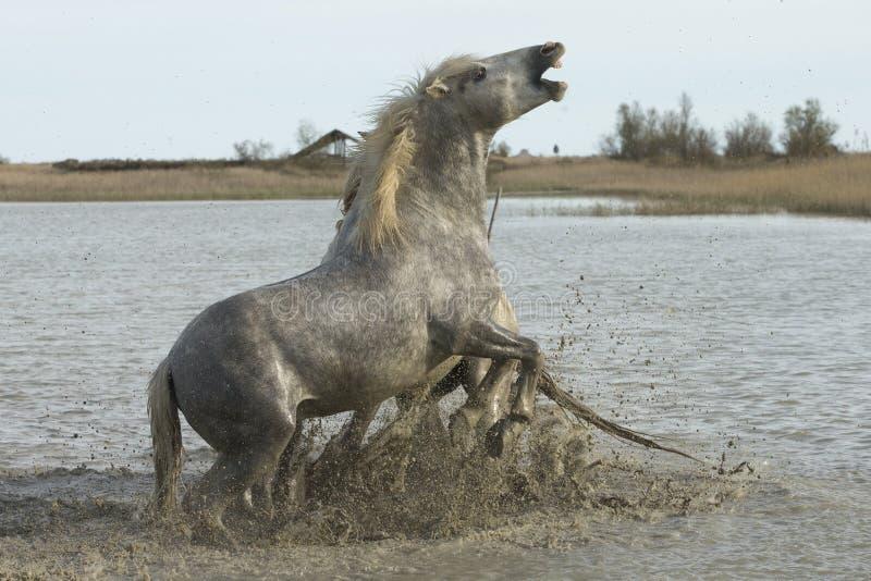 Camargue法国白马  免版税库存照片