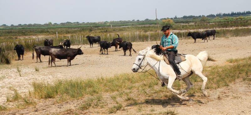 Camargue牛仔在成群黑公牛的美丽的白马乘坐 库存照片