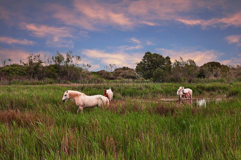 Camargue Frankrike: vita hästar som betar i våtmarkerna arkivbild