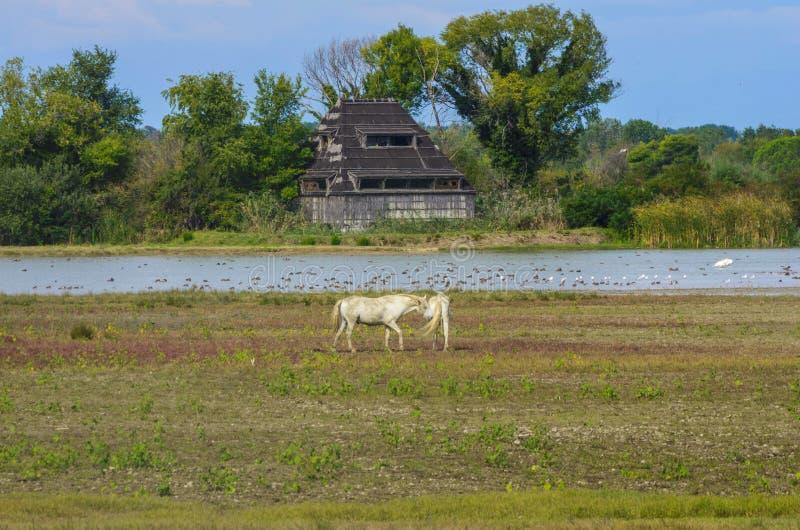 Camargue hästar royaltyfri bild