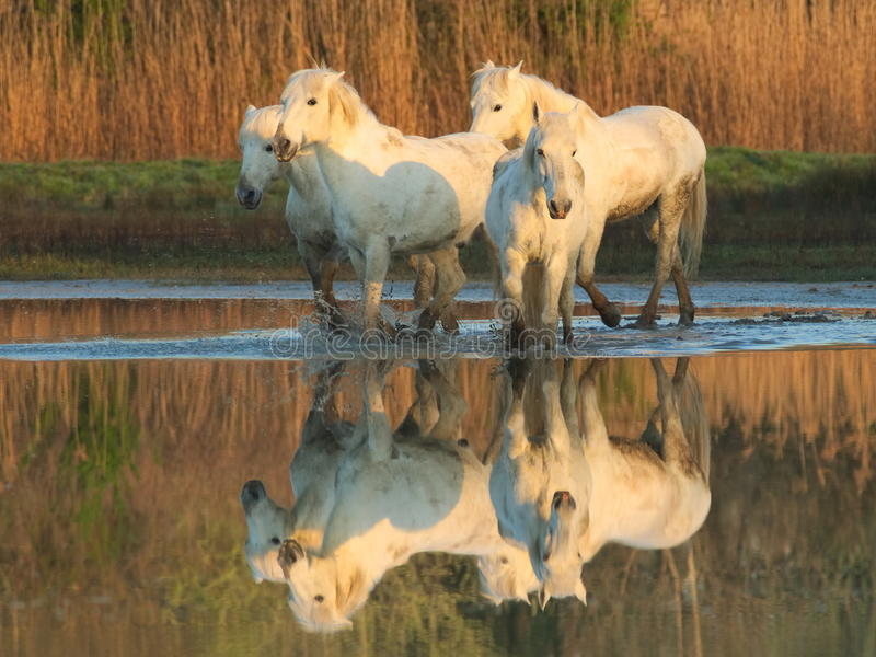 Camargue hästar royaltyfria foton