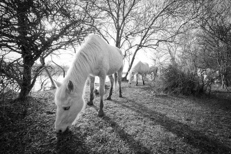 Camargue hästar i den Isola dellaen Cona royaltyfri bild