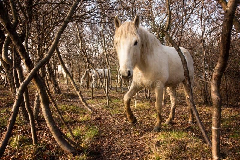 Camargue hästar i den Isola dellaen Cona arkivbild