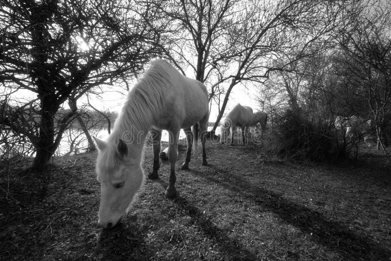 Camargue hästar i den Isola dellaen Cona arkivfoton
