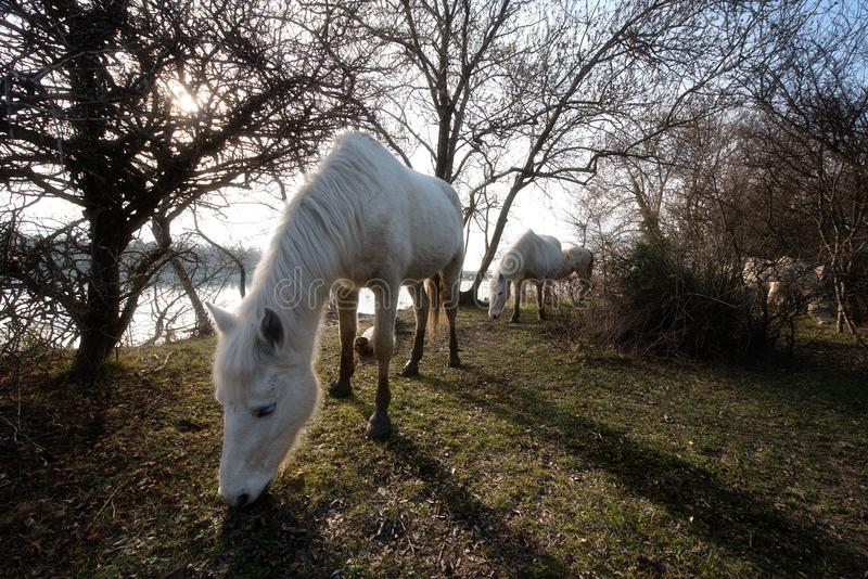 Camargue hästar i den Isola dellaen Cona royaltyfri foto