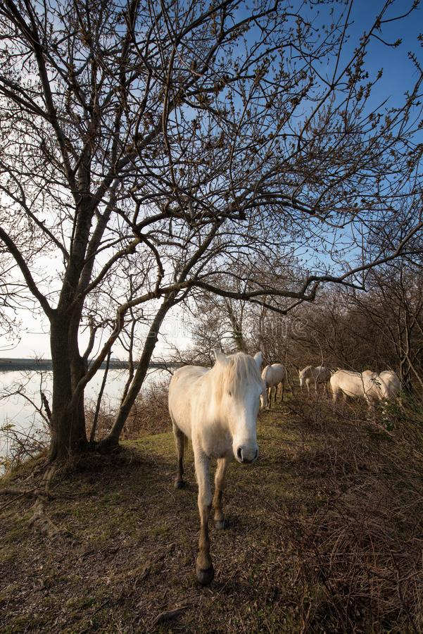 Camargue hästar i den Isola dellaen Cona royaltyfria bilder