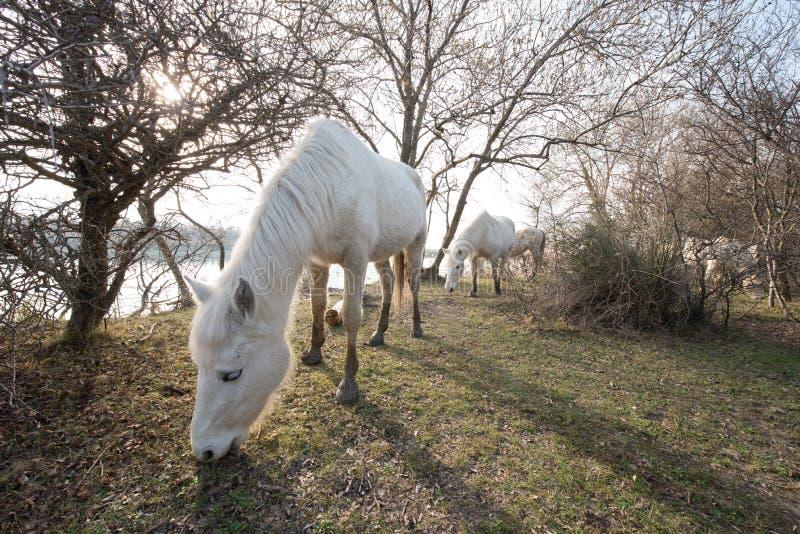 Camargue hästar i den Isola dellaen Cona fotografering för bildbyråer