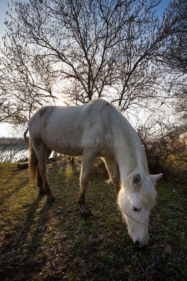 Camargue hästar i den Isola dellaen Cona royaltyfria foton