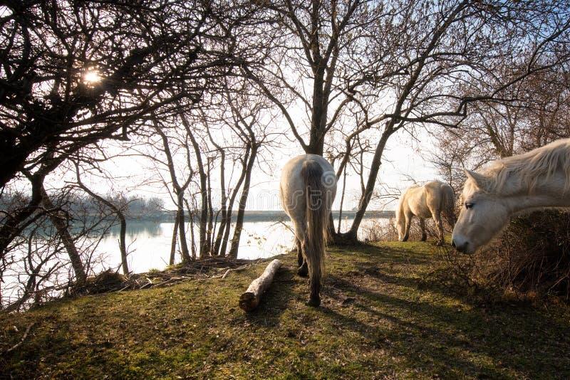 Camargue hästar i den Isola dellaen Cona royaltyfri fotografi