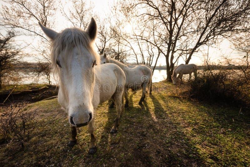 Camargue hästar i den Isola dellaen Cona arkivbilder