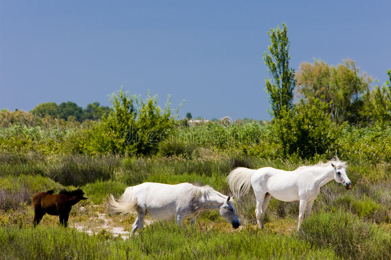 Download Camargue horses stock image. Image of france, animal - 14861817