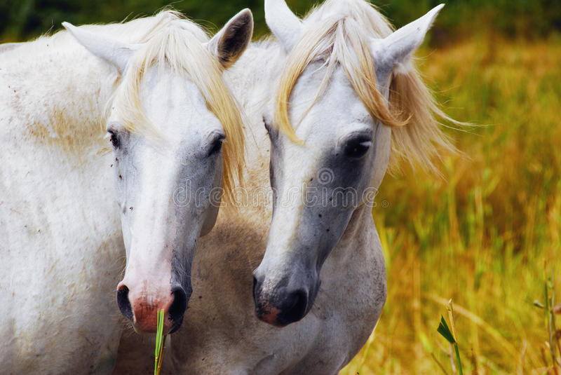 Camargue horses couple hugging himself stock photography