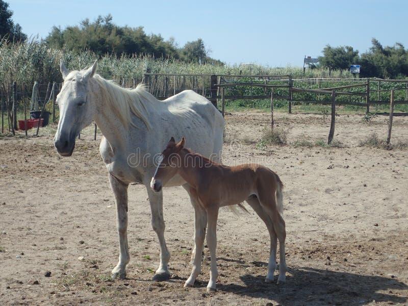 Camargue horses in a farm in Saintes-Maries-de-la-Mer royalty free stock image