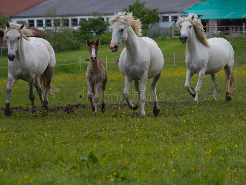 Camargue horses with foal royalty free stock photo