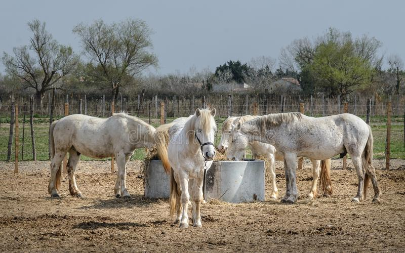 Camargue konie: Camargue Provençal Camarga jest naturalny region lokalizować południem Arles, Francja obraz royalty free