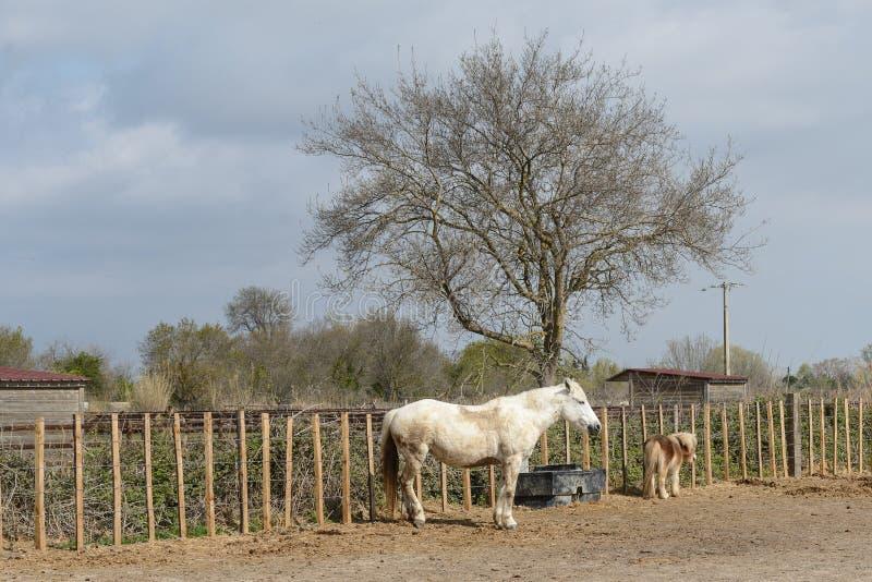 Camargue konie: Camargue Provençal Camarga jest naturalny region lokalizować południem Arles, Francja obraz stock