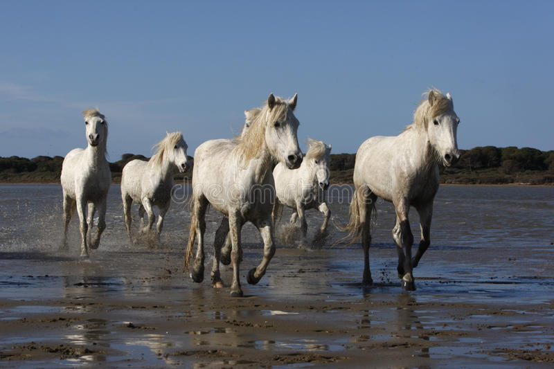 Camargue white horse. Galloping through shallow water, Camargue, France royalty free stock photo