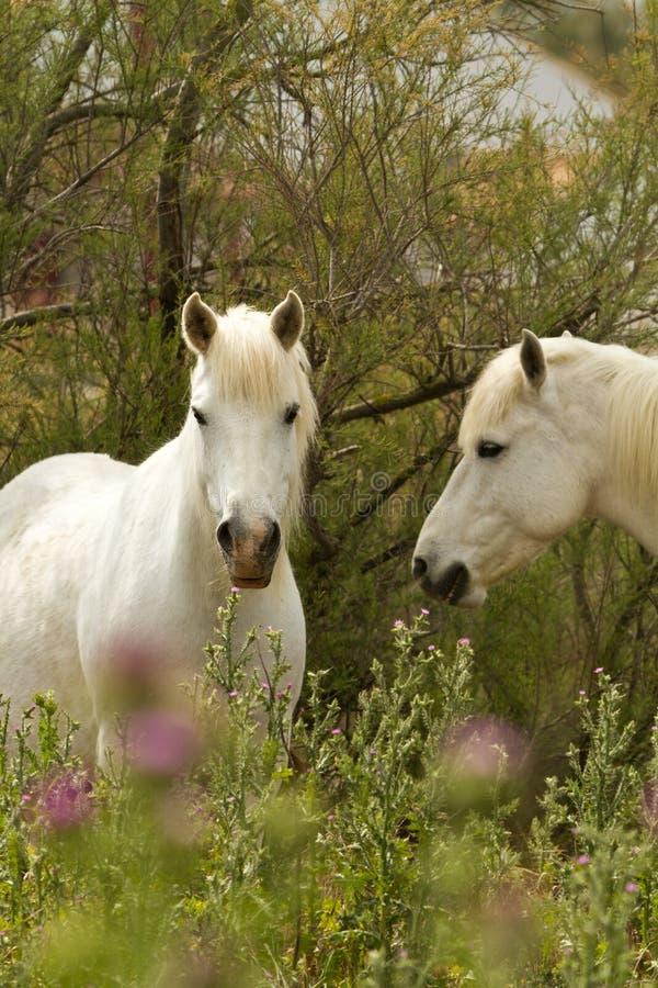 Free Camargue White Horses Royalty Free Stock Photo - 19439735