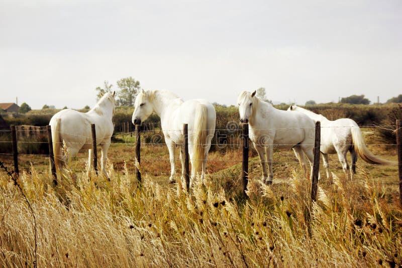 Camargue white horses, Camargue, France stock photos