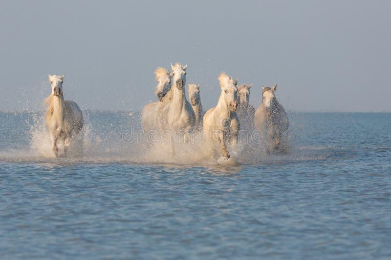 Camargue, wilde Pferde stockfotografie