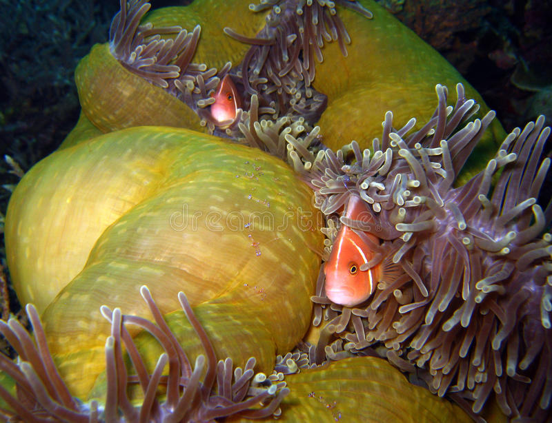 Camarones rosados del Commensal de Anemonefish y de Tosa imágenes de archivo libres de regalías