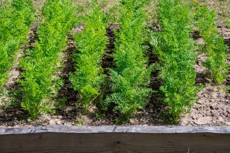 Camas de la zanahoria en el jardín, cosecha del verano, granja imagenes de archivo