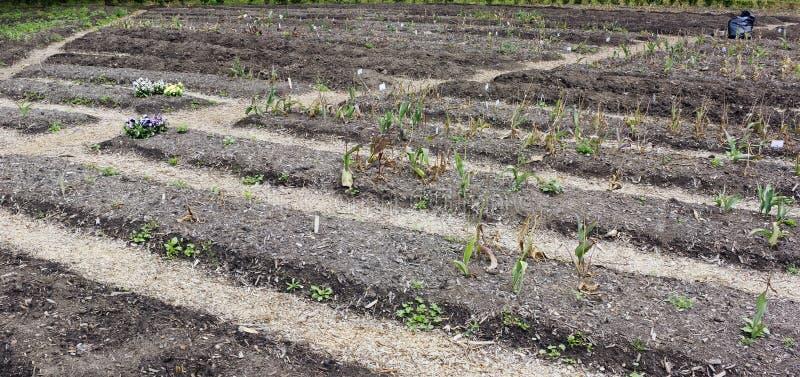 Camas de tulipas no verão foto de stock royalty free