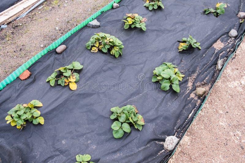 Camas del jardín con los arbustos de fresa preparados para el invierno en el jardín imágenes de archivo libres de regalías