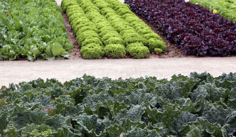 Camas del jardín vegetal con la ensalada y el cale imagen de archivo