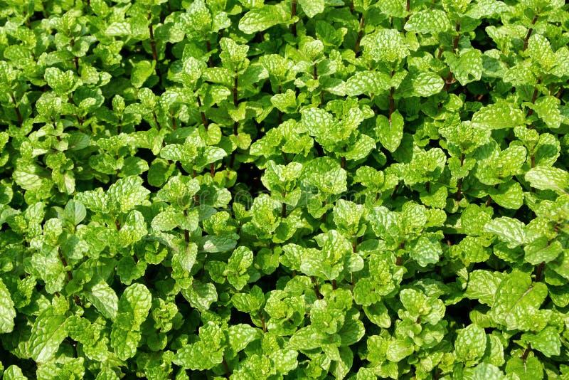 Camas do jardim com as folhas verdes da hortelã imagem de stock royalty free