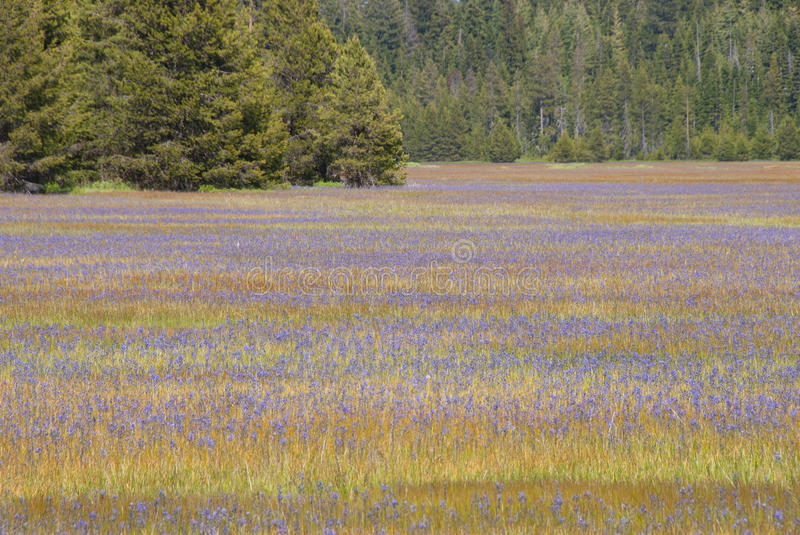 Download Camas stock image. Image of flower, summer, meadow, plant - 39502449