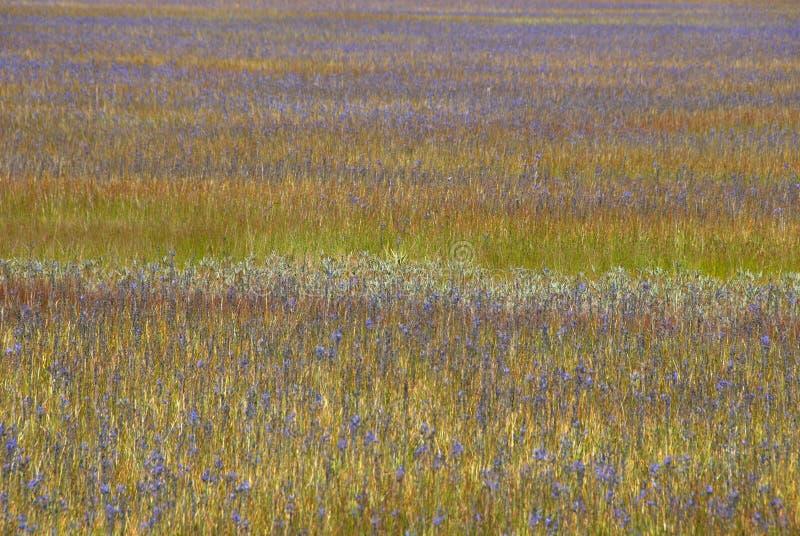 Download Camas stock image. Image of oregon, camas, floral, herb - 39502497