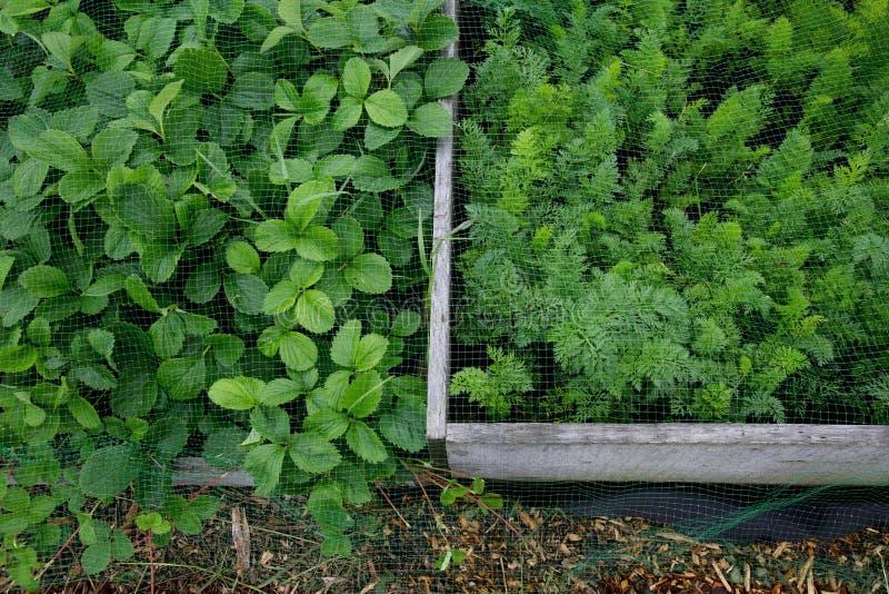 Camas vegatable aumentadas com o veg verde que cresce de proteção pela malha imagens de stock royalty free