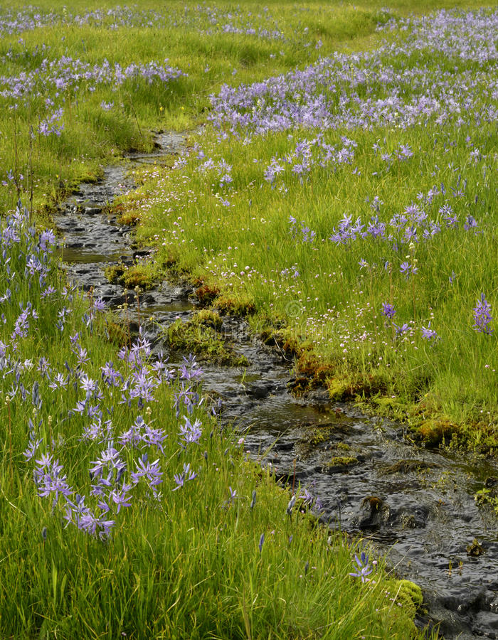 Camas and Water. Camas Flowers in Spring alongside small stream stock images