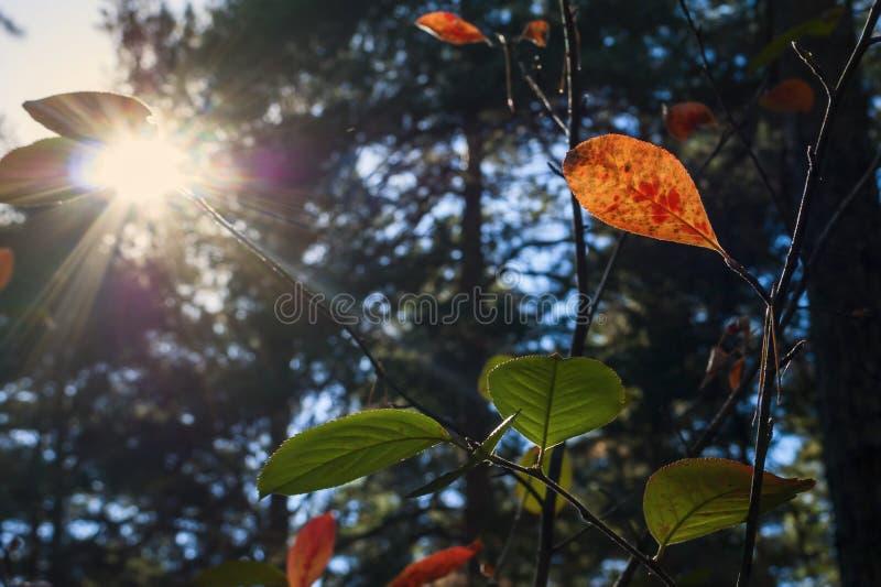 Cambiamento delle stagioni: Foglie di rosso e verdi in Forest On Sunny Autumn Day Fasci di Sun, alberi sempreverdi vaghi nel fond immagine stock