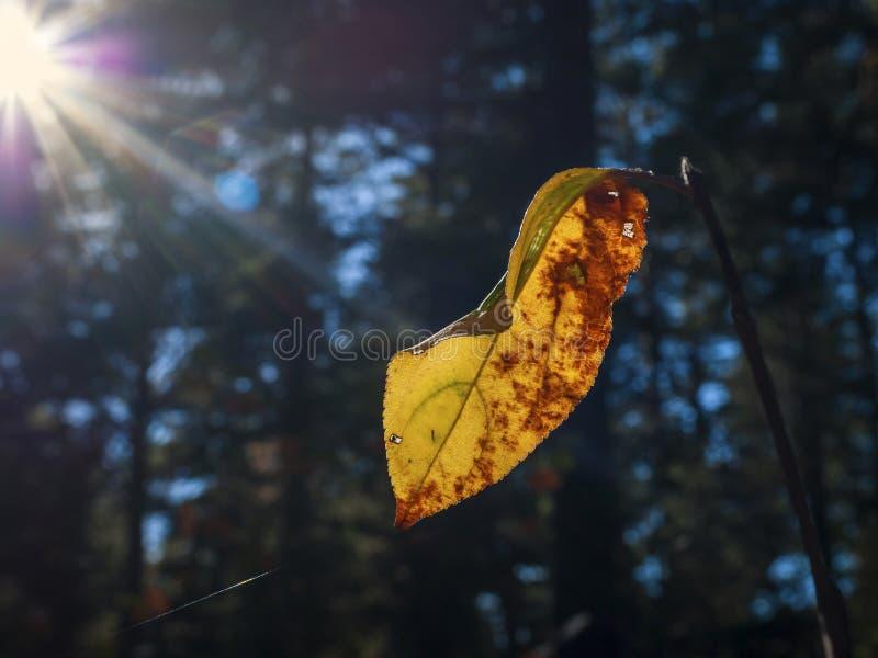 Cambiamento delle stagioni: Singola foglia gialla e rossa su un ramo in Autumn Forest Sun Beams, alberi sempreverdi vaghi nel fon fotografia stock