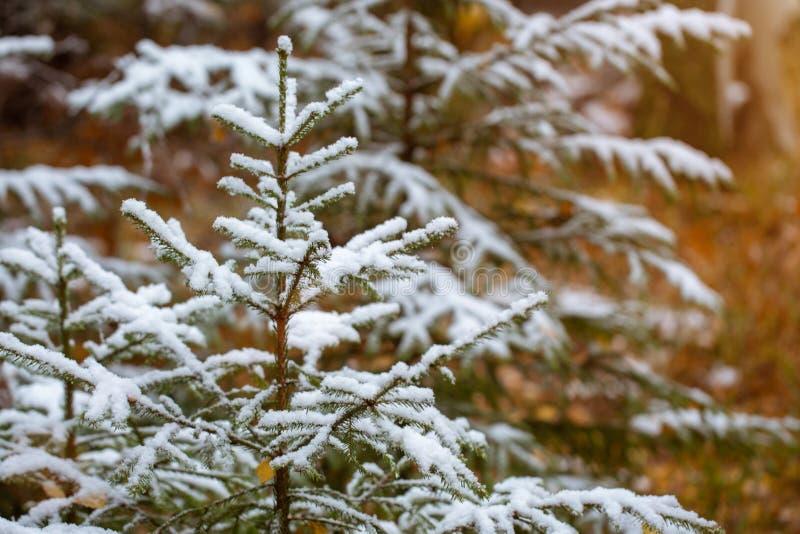 Cambio de estaciones. Comí joven en la nieve. La primera nieve del otoño. Invierno temprano fotos de archivo