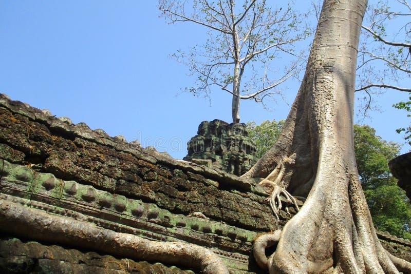 Cambodia Angkor Wat tree grows into shrine stock image