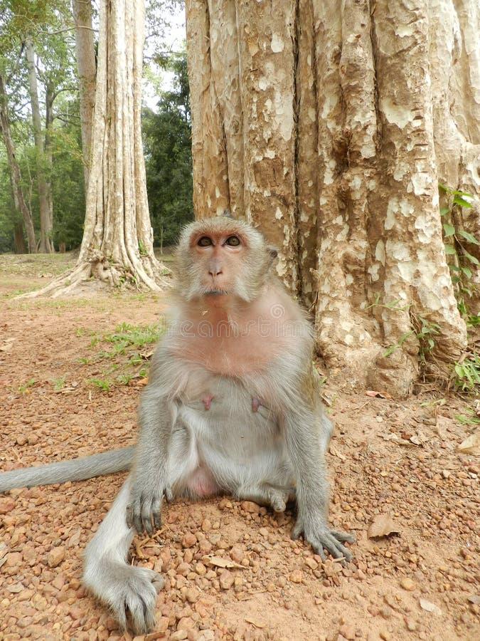 cambodia makaka małpa zdjęcie royalty free