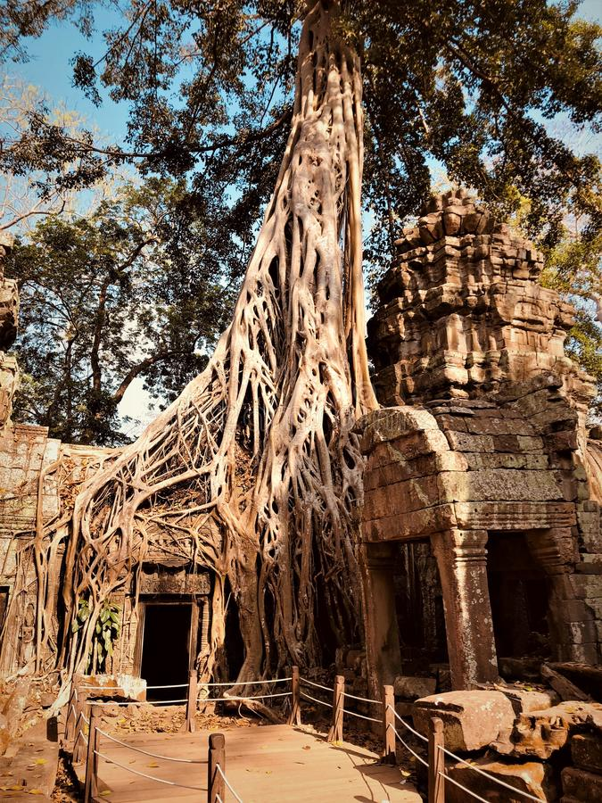 Cambodia, Siem Reap, Angkor Wat Temple, Ta Prohm. Amazing Angkor Wat Temple ruin Ta Prohm partly covered with large roots Ficus Strangulosa stock images