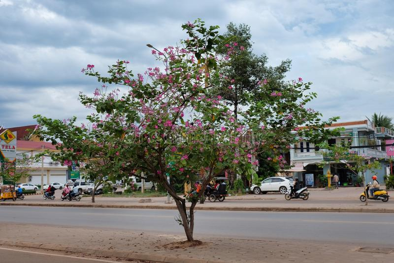 Cambodia, Siem Reap 12/08/2018 flowering tree on a city street, transport rides in the background. Cambodia, Siem Reap 12/08/2018 a flowering tree on a city royalty free stock image