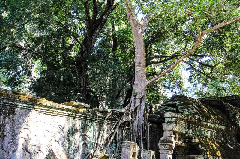Cambodia Siem Ta Prohm Tree and wall. Photographed in January 2017 stock image