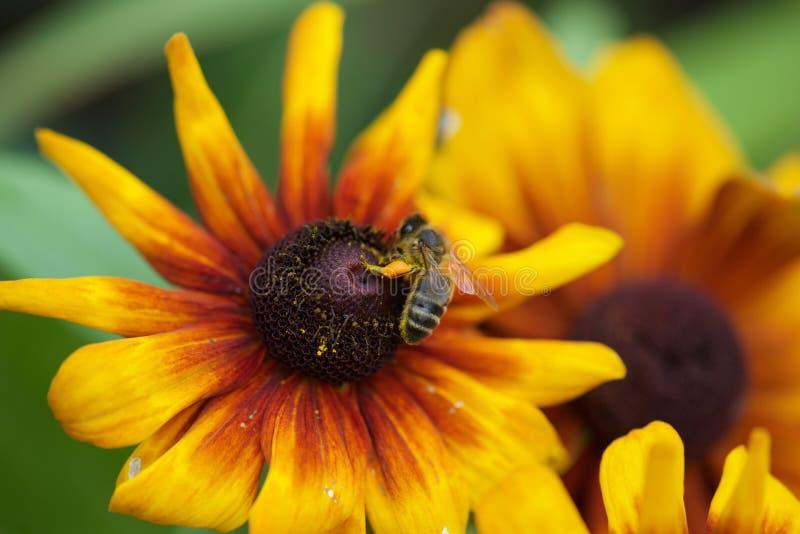 Cambridge-Blumenbienen-Bestäubungsgelb lizenzfreies stockbild