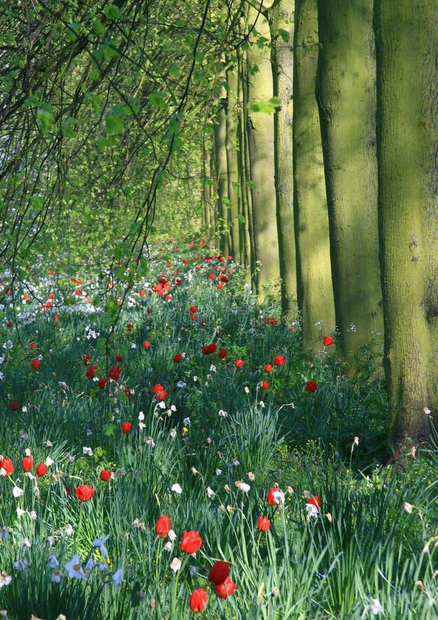 Cambridge trees and Tulips stock image
