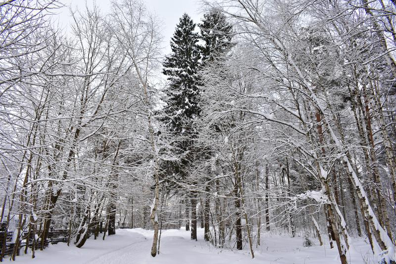 Came to the forest winter. Trees are dressed in snow caps. Large snow diamond snow road royalty free stock photos