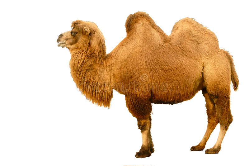 Camel. Photograph of a stand-up camel
