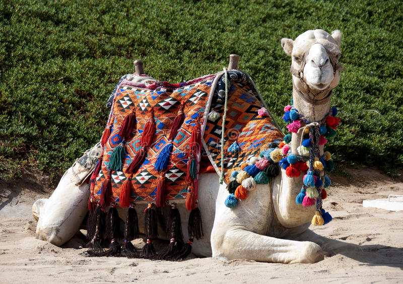Download Camel stock photo. Image of close, africa, horse, holiday - 13187260